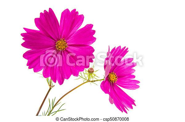 Cosmos flower isolated - csp50870008