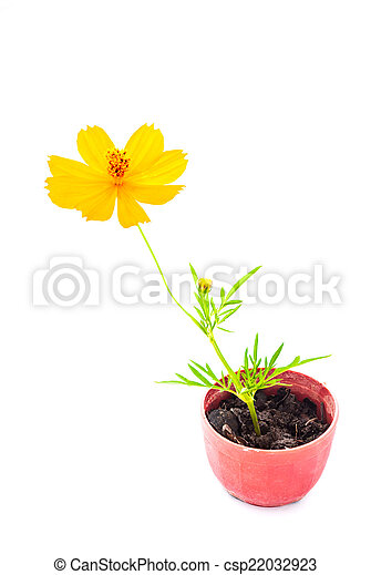 Cosmos flower stalk in small pot on white - csp22032923