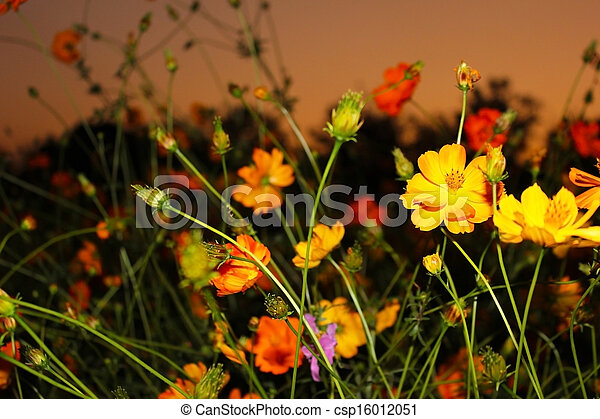Cosmos Flower Cosmos Are Herbaceous Perennial Plants Growing 032