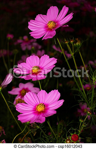 Cosmos flower cosmos are herbaceous perennial plants growing 032 cosmos flower csp16012043 mightylinksfo
