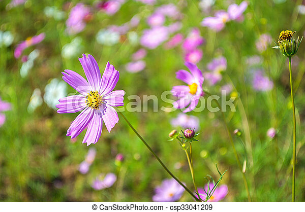 Cosmos flowers pink in the garden with green background - csp33041209