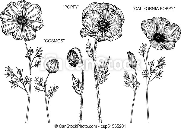 Cosmos poppy california poppy flower drawing vector clipart cosmos poppy california poppy flower drawing csp51565201 mightylinksfo Image collections