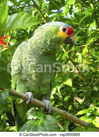 cotorra parrot green from Central America - csp3693908