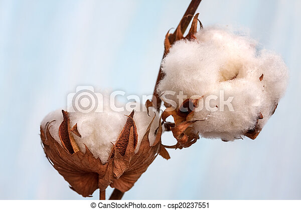Cotton buds branch. Small Depth of Field (DOF) - csp20237551