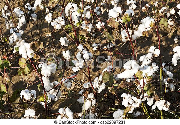 cotton farm - csp22097231