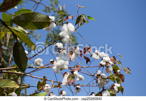 Cotton field ready for harvest - csp25265840