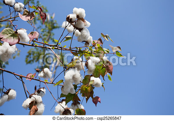 Cotton field ready for harvest - csp25265847