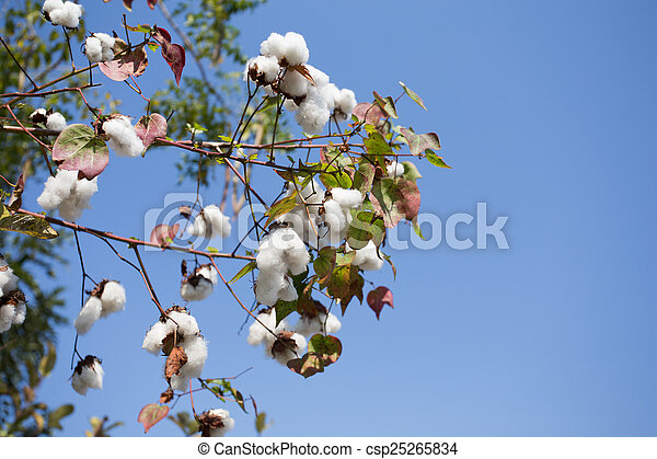 Cotton field ready for harvest - csp25265834