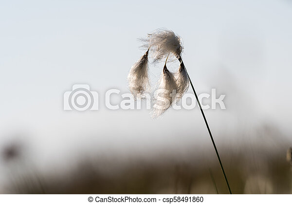 Cotton grass closeup - csp58491860