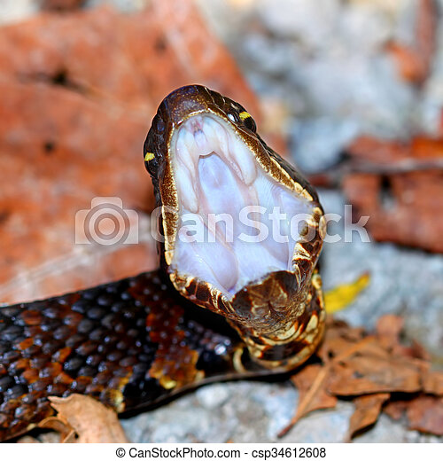 Cottonmouth Snake Illinois - csp34612608
