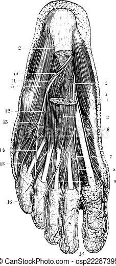 couche, semelle, vendange, après, surface, déménagement, peau, pied, engraving. - csp22287395