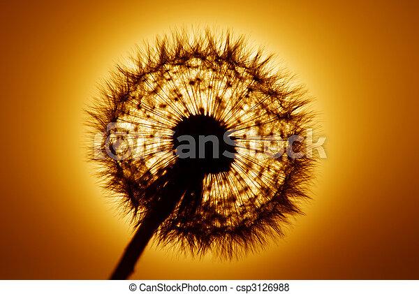 coucher soleil, pissenlit - csp3126988