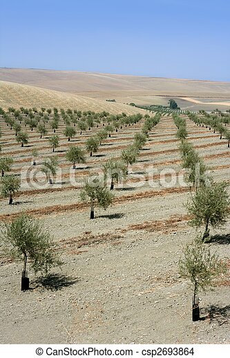 Country olive young trees hill field - csp2693864