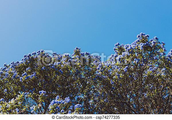 """coup, bleu, pacifique, fleurs, arbre, entiers, """"ceanothus"""", fleur - csp74277335"""