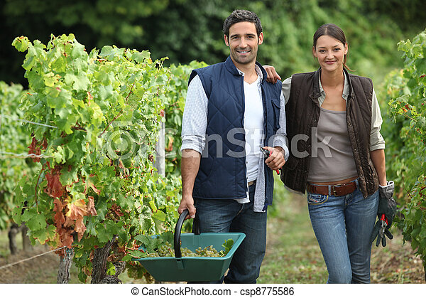 couple collecting grapes from vines - csp8775586