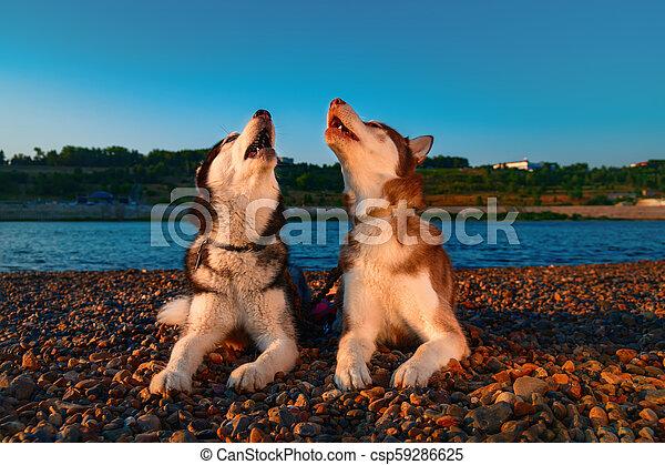 Couple Cute Husky Dogs Howl Raising Their Muzzles Up Beautiful