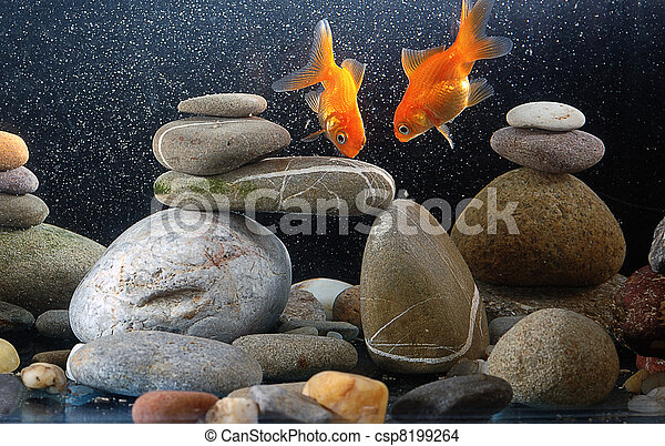 Couple goldfish in aquarium - csp8199264