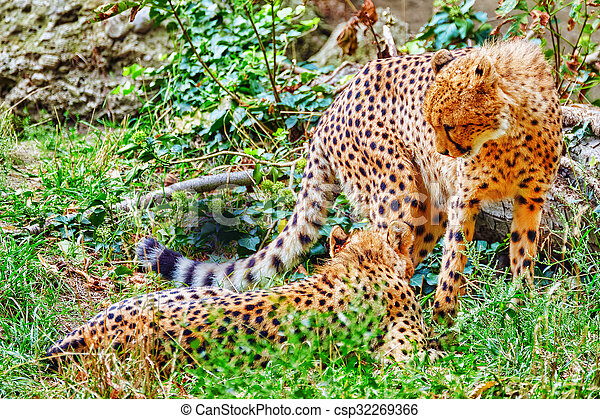 Couple of Cheetah (Acinonyx jubatus) is a big cat in the subfamily Felinae that inhabits most of Africa and parts of Iran. - csp32269366