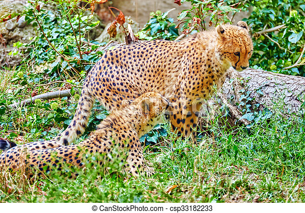 Couple of Cheetah (Acinonyx jubatus) is a big cat in the subfamily Felinae that inhabits most of Africa and parts of Iran. - csp33182233