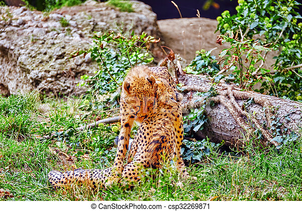 Couple of Cheetah play (Acinonyx jubatus)-is a big cat in the subfamily Felinae that inhabits most of Africa and parts of Iran. - csp32269871