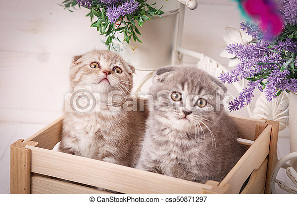 Couple of funny Scottish kittens sitting in the wooden box and and looking up - csp50871297
