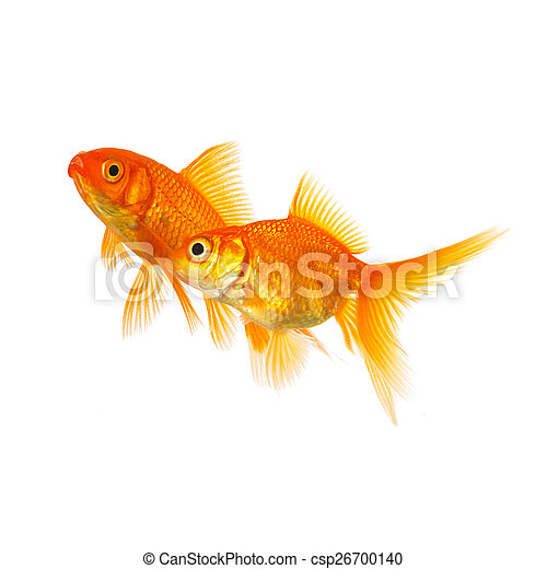Couple of goldfishes in love - csp26700140