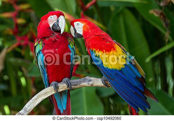 Couple of Green-Winged and Scarlet macaws in nature surrounding - csp10492060