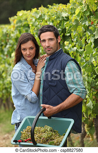 Couple picking grapes - csp8827580