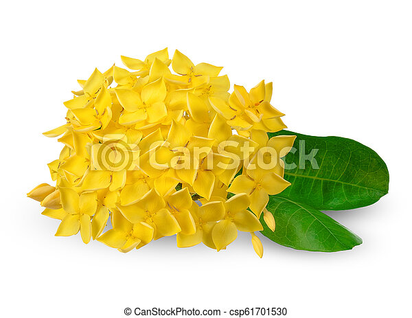 coupure, ixora, isolé, jaune, sentier, blanc - csp61701530
