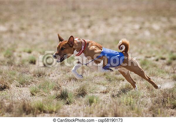 Coursing. Basenji dogs runs across the field - csp58190173
