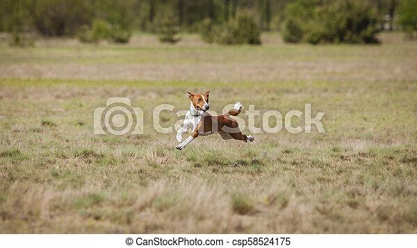 Coursing. Basenji dogs runs across the field - csp58524175