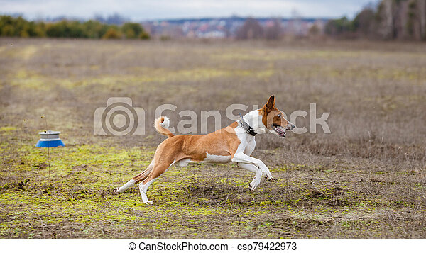 Coursing. Basenji dogs runs across the field - csp79422973