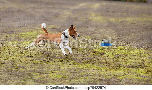Coursing. Basenji dogs runs across the field - csp79422974