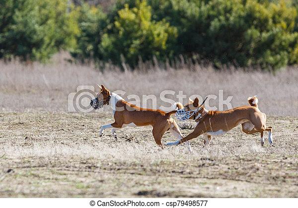 Coursing. Basenji dogs runs across the field - csp79498577