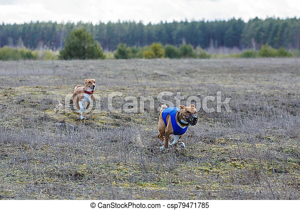 Coursing. Basenji dogs runs across the field - csp79471785