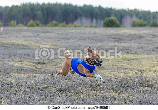 Coursing. Basenji dogs runs across the field - csp79498581