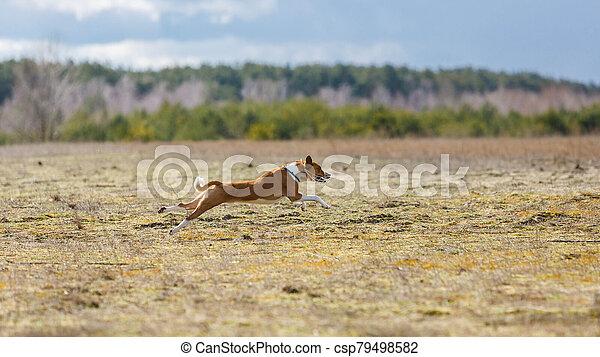 Coursing. Basenji dogs runs across the field - csp79498582