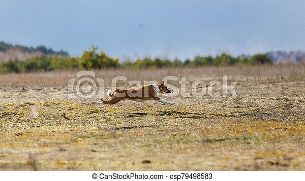 Coursing. Basenji dogs runs across the field - csp79498583
