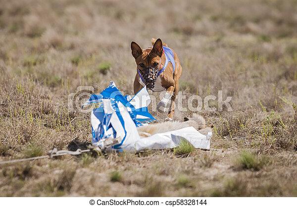 Coursing. Basenji dogs runs across the field - csp58328144