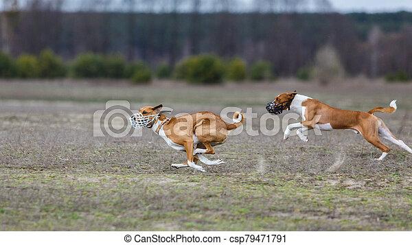 Coursing. Basenji dogs runs across the field - csp79471791