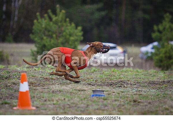 Coursing, Pharaoh dogs runs across the field - csp55525674