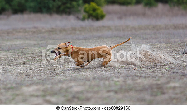 Coursing. Whippet dog running in the field - csp80829156
