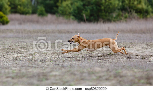 Coursing. Whippet dog running in the field - csp80829229