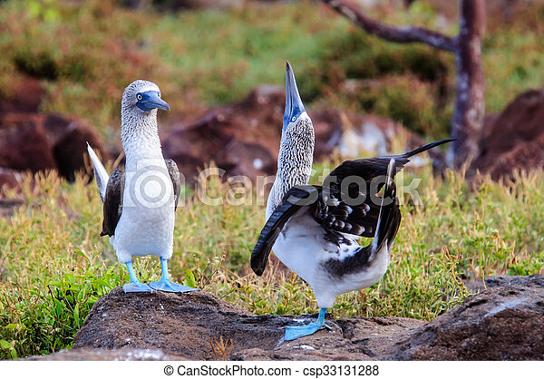 Courting Blue footed Boobies - csp33131288