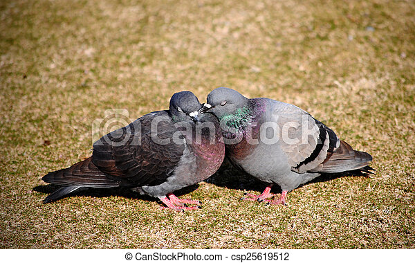Courting pigeons bill and coo - csp25619512