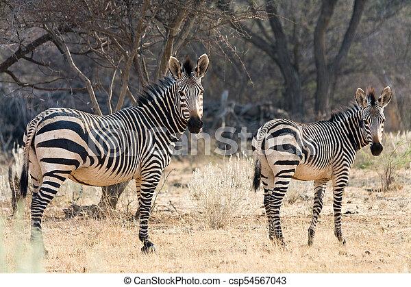 Cow And Kitten - Hartmann Mountain Zebra