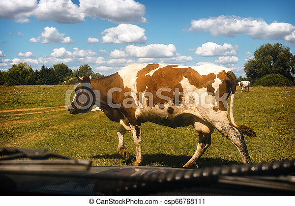 Cow crossing the road in front of the car. - csp66768111