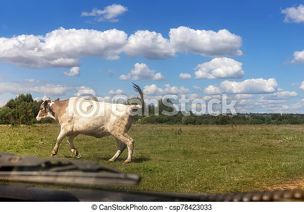 Cow crossing the road in front of the car. - csp78423033