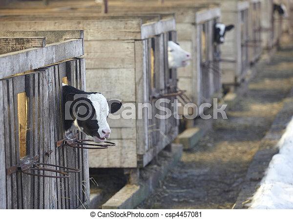 cow farm agriculture bovine milk - csp4457081