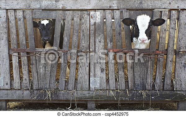 cow farm agriculture bovine milk - csp4452975